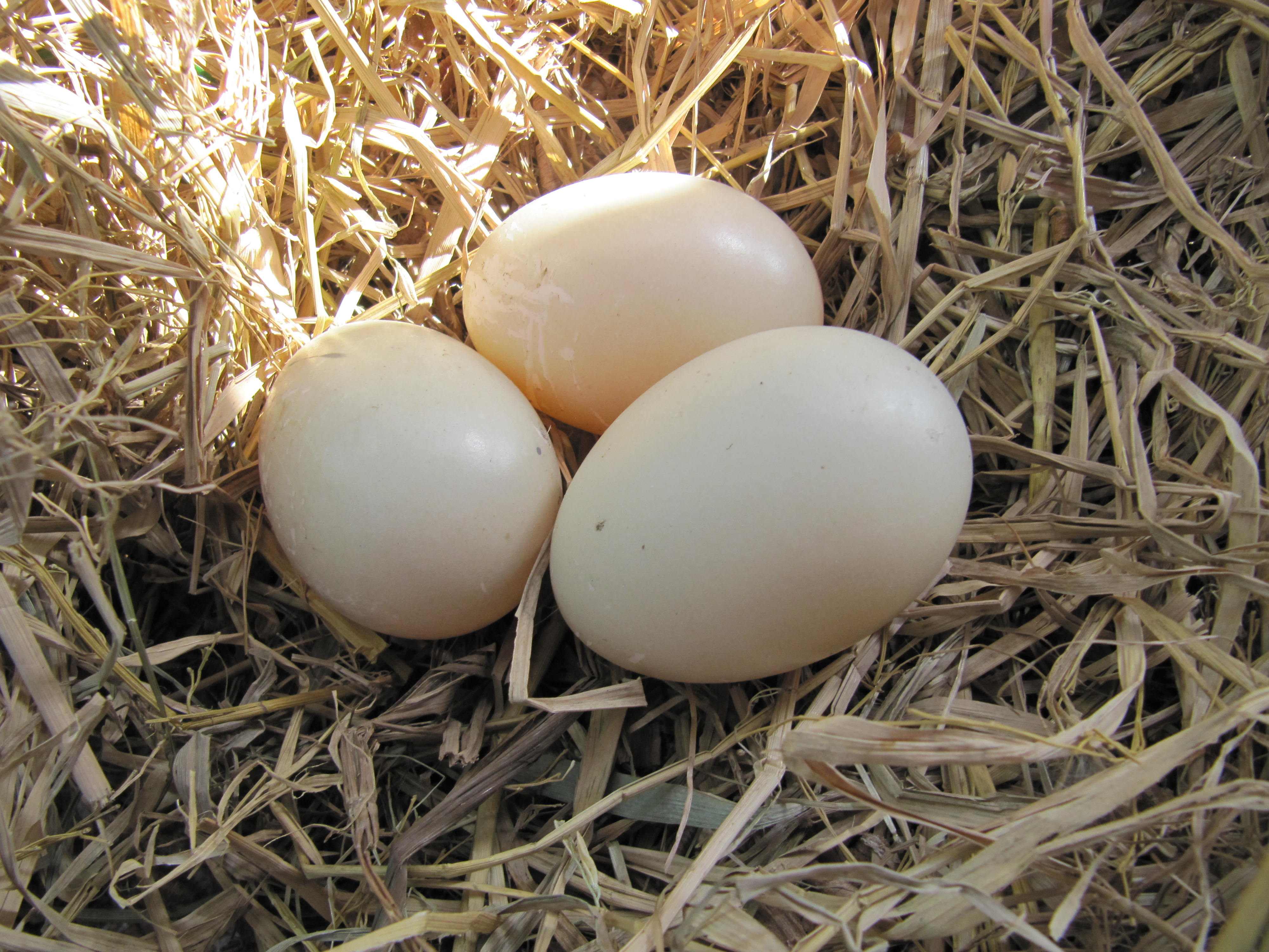 First Muscovy Duck Eggs | bebestyles